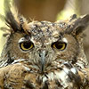 Hoolia - Great Horned Owl